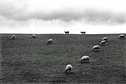 France Sheep on Hill